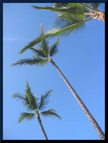 Look up...WAAY up! Towering Palm Trees in Hawaii. Beautiful! (c) 2004 DCoyote