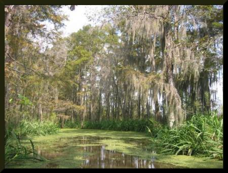 Cypress Trees, Honey Island Swamp, New Orleans (c) 2004 DCoyote