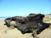 'Burnt Driftwood, North Beach Point Reyes' (c) 2005 David Coyote