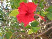 'Hibiscus 2' (c) 2005 David Coyote