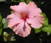 'Hibiscus 3' (c) 2005 David Coyote
