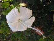 'Hibiscus 5' (c) 2005 David Coyote