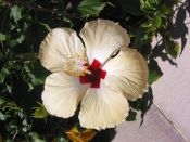 'Hibiscus 6' (c) 2005 David Coyote