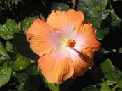 'Hibiscus 8' (c) 2005 David Coyote