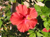 'Hibiscus 9' (c) 2005 David Coyote
