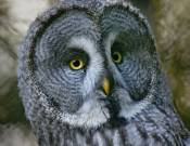 Great Grey Owl © 2012 Tom Saunders