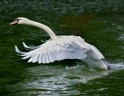 Swan Take-off © 2012 Tom Saunders