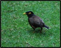 Hawai'i, Mynah Bird © 2011 David Coyote