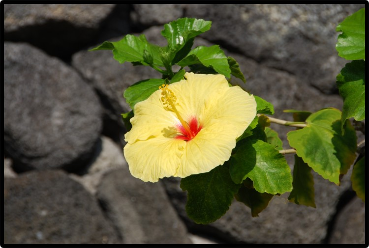 Hawai'i, Flower © 2011 David Coyote