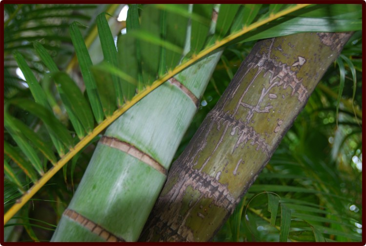 Hawai'i, Bamboo Plant © 2011 David Coyote