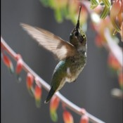 Hummingbird © 2010 David Coyote