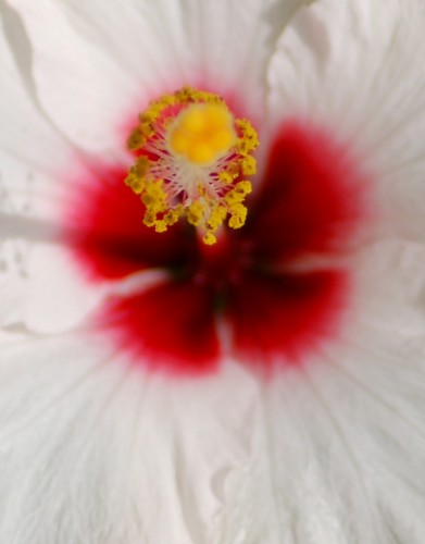 White Hibiscus © 2010 David Coyote