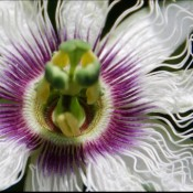 Passion Fruit Bloom © 2010 David Coyote