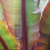 Banana Leaves © 2010 David Coyote
