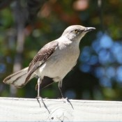 Mocking Bird © 2010 David Coyote