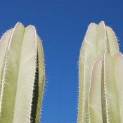 Capistrano Cactus © 2010 David Coyote