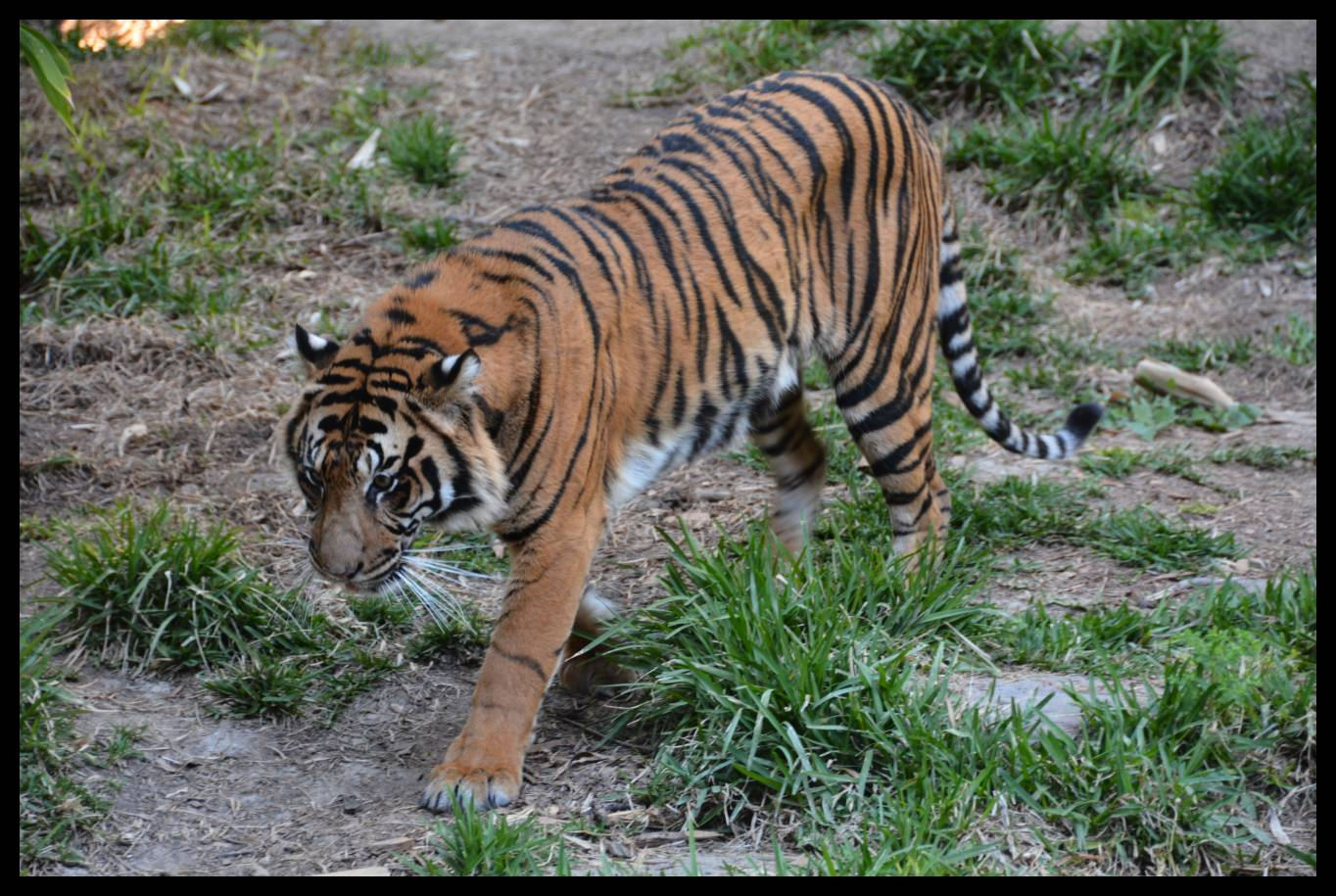Sumatran Tiger © 2015 David Coyote