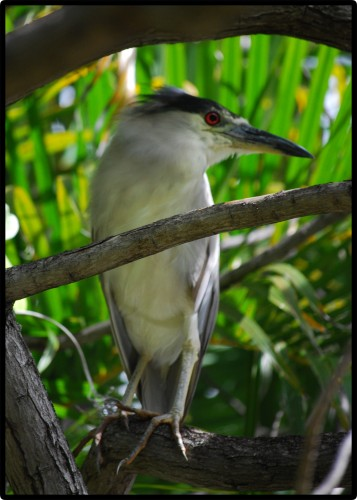 Black-crowned Night Heron © 2010 David Coyote